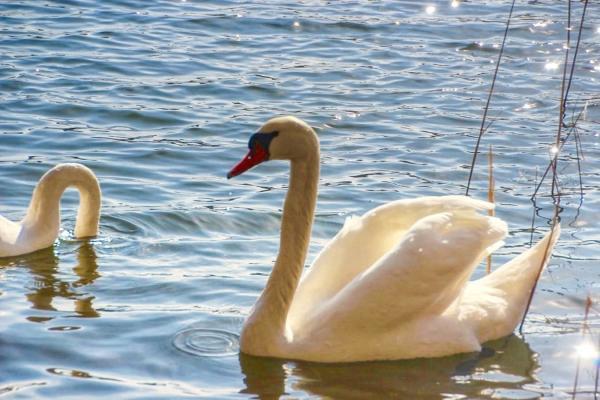 romantische-schwaene-plattkowsee-brandenburg-lychen