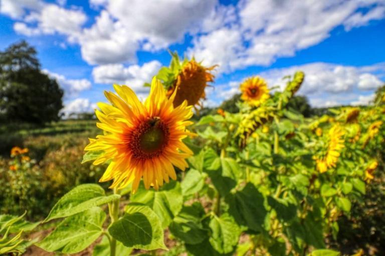 wandern-sonnenblumen-lychen